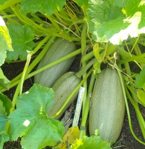 some kind of spaghetti squash that Yolanda planted at the Reiki Ranch
