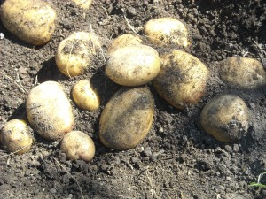 Reiki Ranch grows potatoes in the organic garden